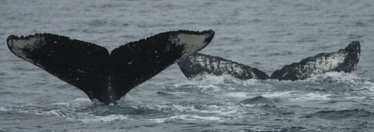 Flukes of southeastern Alaska whales 900 and 533