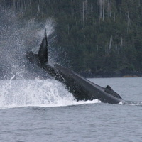 Humpback whale tail-slapping