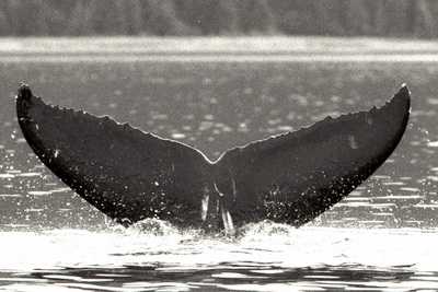 This is the calf photo of whale 1731 taken in 2001.